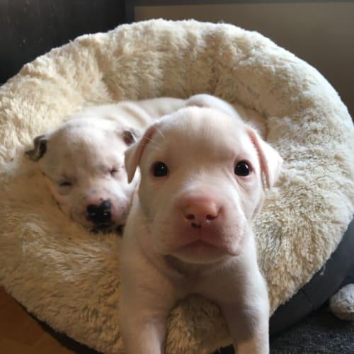 Binky  - American Staffordshire Bull Terrier Dog