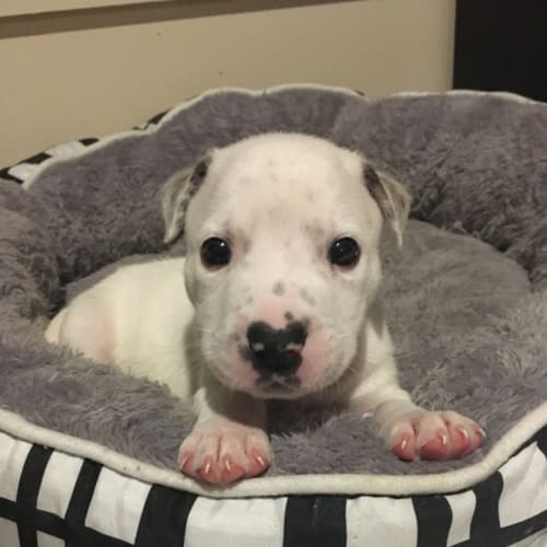 Boo boo - American Staffordshire Bull Terrier Dog
