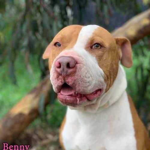Benny - Bull Terrier Dog