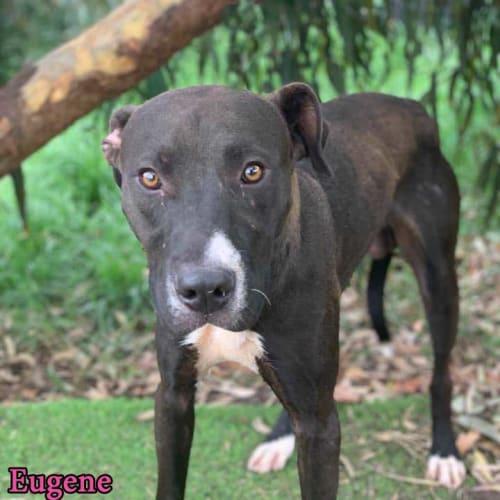Eugene - Mastiff Dog
