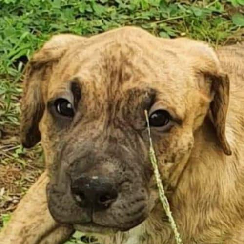 Phoebe - Bull Arab Dog