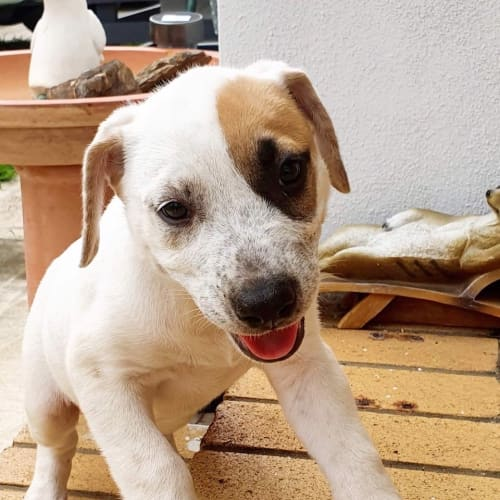 Pyper - Bull Arab Dog
