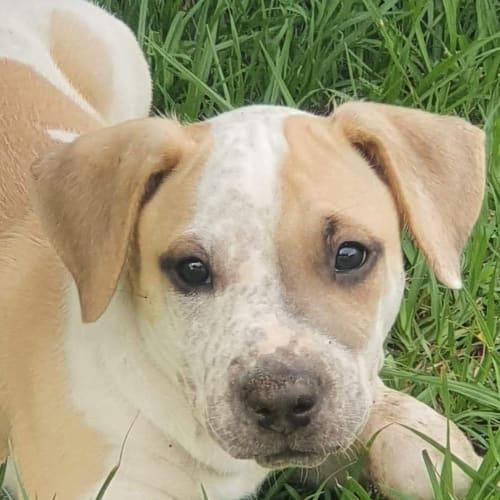 Pippa - Bull Arab Dog