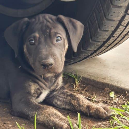 Poppy - Bull Arab Dog