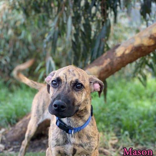 Mason - Staffy Dog