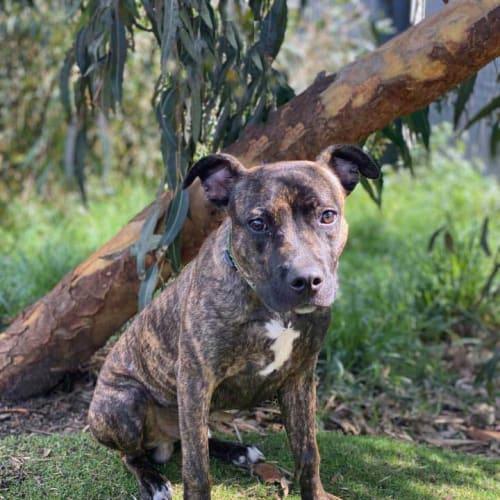 Cooper - Staffordshire Bull Terrier Dog