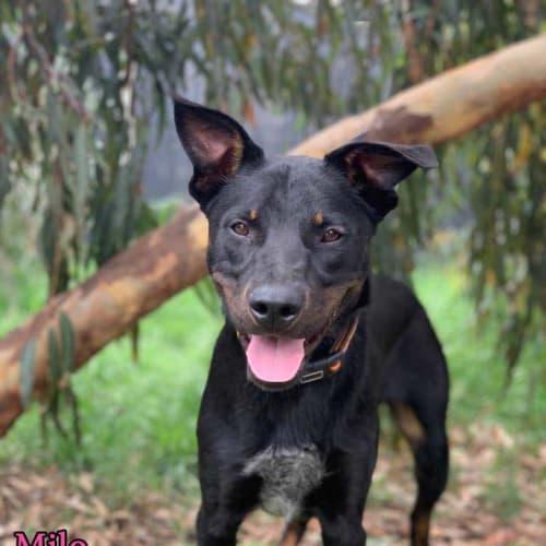 Milo - Kelpie Dog