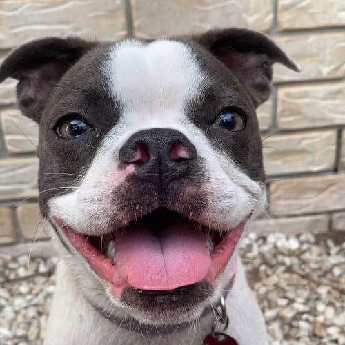 Frankie - Boston Terrier x French Bulldog
