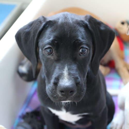 Lottie - Boxer x Mastiff Dog