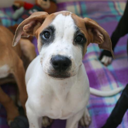 Diago - Boxer x Mastiff Dog