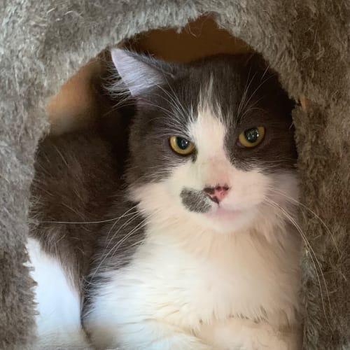 Halo - Domestic Medium Hair Cat