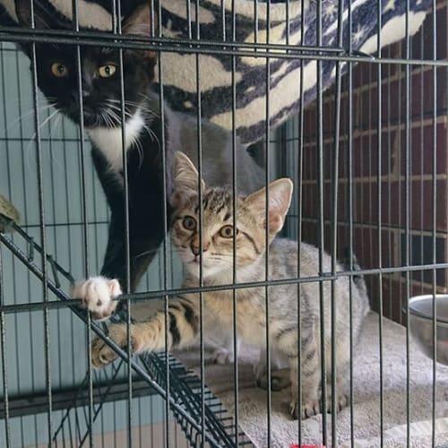 Alex & Kristina - Domestic Short Hair Cat