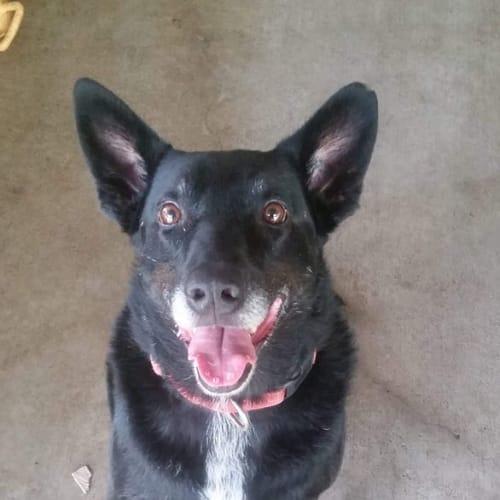 Shar - Blue Heeler Dog