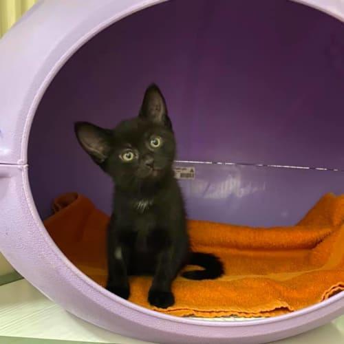 Vollie - Domestic Short Hair Cat