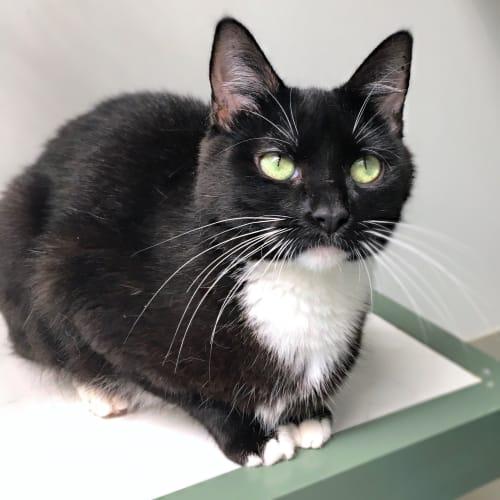 Bridget (96831) - Domestic Short Hair Cat