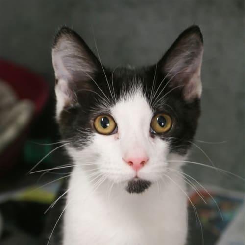 Marlon - Domestic Short Hair Cat