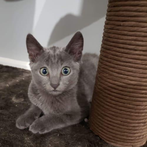 Brock - Domestic Short Hair Cat