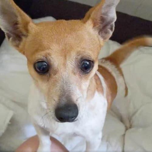 PJ - Fox Terrier x Chihuahua Dog