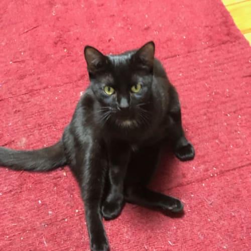 Bernice - Domestic Short Hair Cat