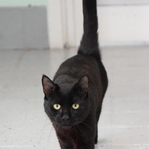 Callaghan - Domestic Short Hair Cat