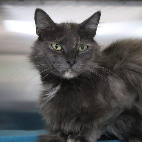 Zsa Zsa - Domestic Medium Hair Cat