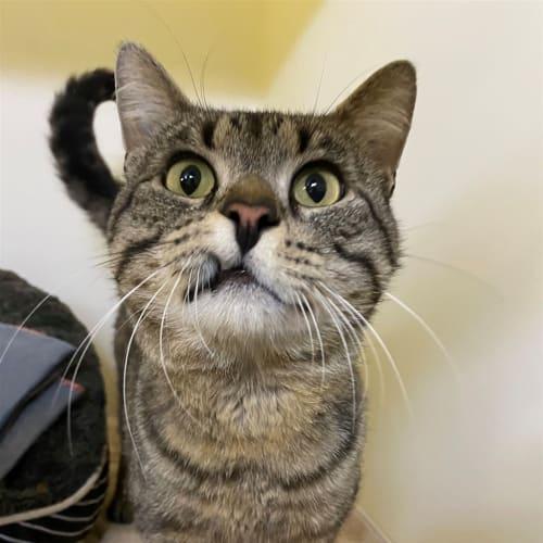 Snoot - Domestic Short Hair Cat