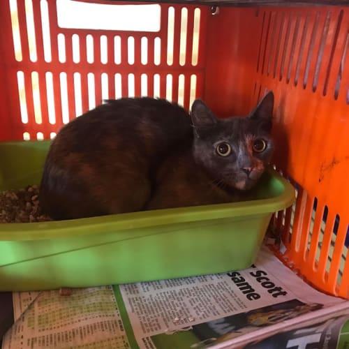 Tito - Domestic Short Hair Cat