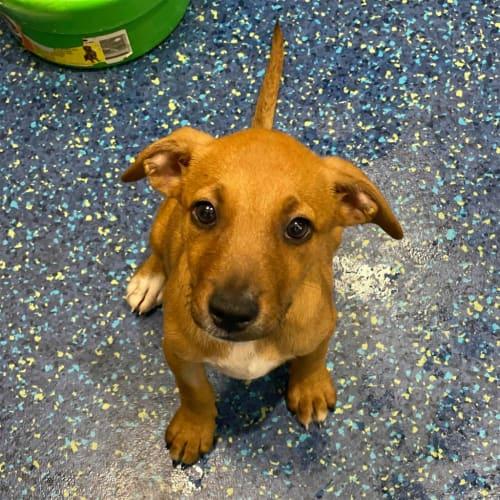 Ethel - Kelpie Dog