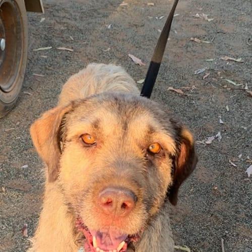 Jonti - Wolfhound Dog