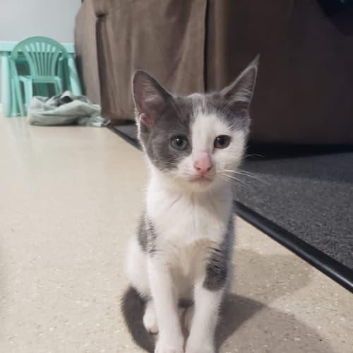 Beaven - Domestic Short Hair Cat