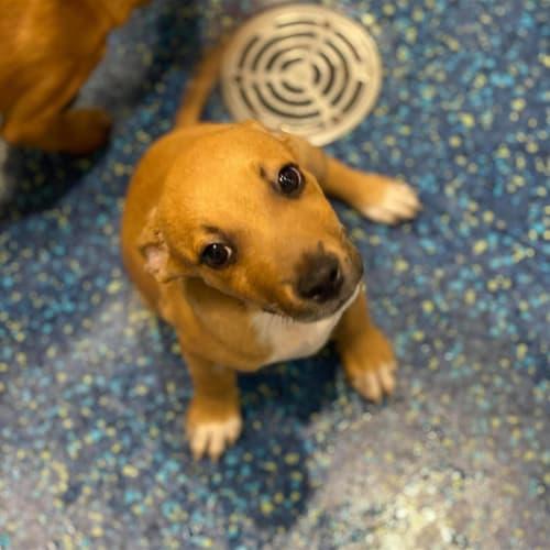 Jarvis - Kelpie Dog