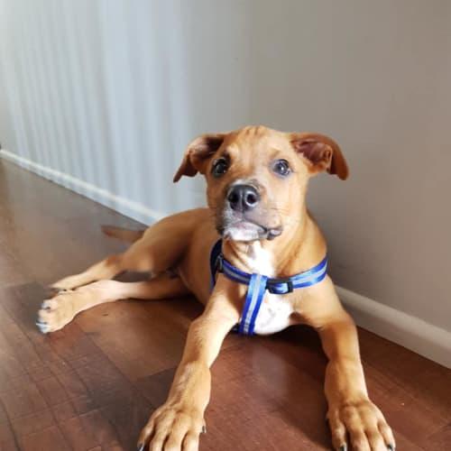 Sheldon  - Kelpie x Staffy Dog