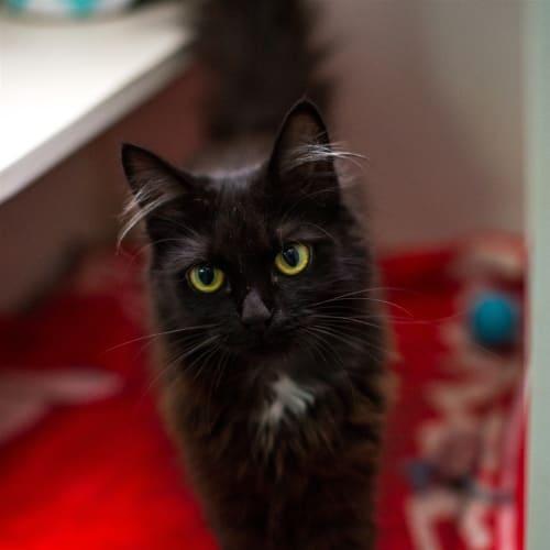 Coco - Domestic Medium Hair Cat