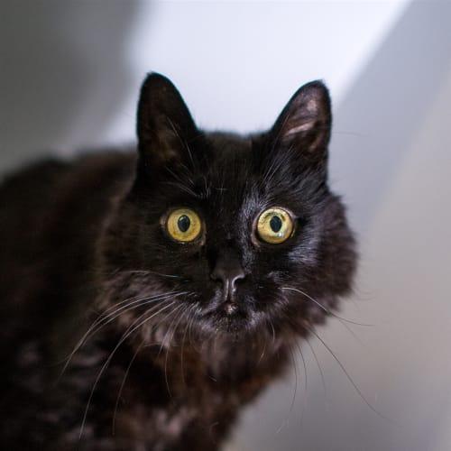Niah - Domestic Medium Hair Cat