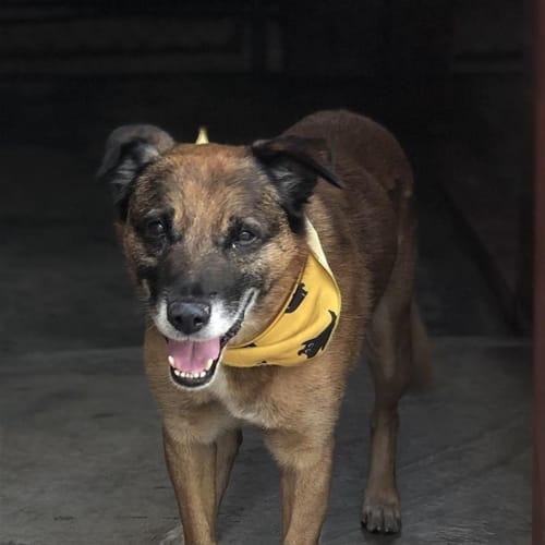 Zac - Kelpie Dog