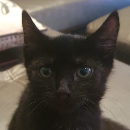 Salem - Meet me Sunday @Neko HQ, Preston - Domestic Short Hair Cat