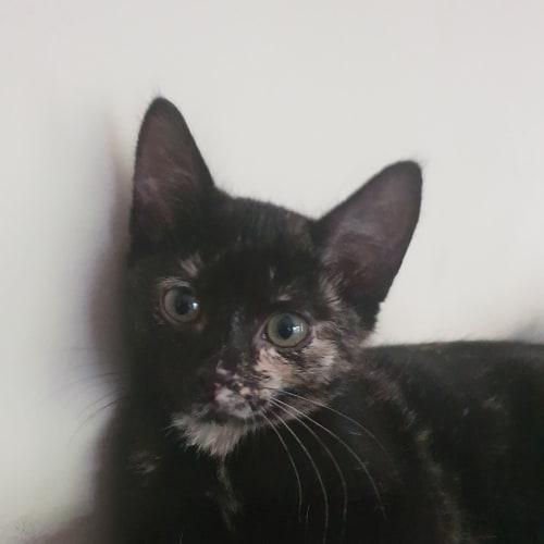 Sabrina - Meet me Sunday @Neko HQ, Preston - Domestic Short Hair Cat