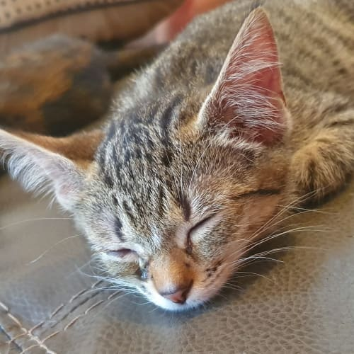 Zelda - Meet me Sunday @Neko HQ, Preston - Domestic Short Hair Cat