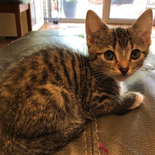 Hilda - Meet me Sunday @Neko HQ, Preston - Domestic Short Hair Cat