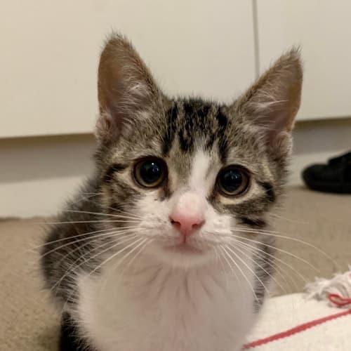 Trevor - Located in Coburg - Domestic Short Hair Cat