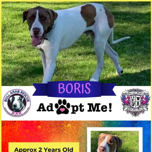 Boris - Bull Arab Dog