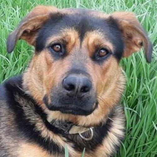 Doug - German Shepherd x Rottweiler Dog