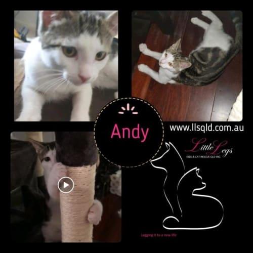 Andy - Domestic Short Hair Cat