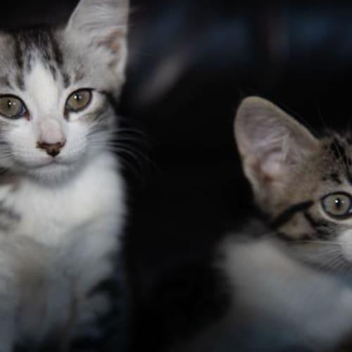 Wonky - Domestic Short Hair Cat