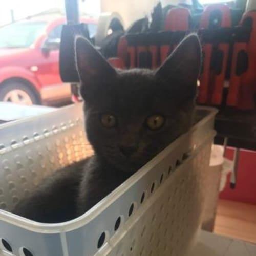 Rexxy - Domestic Short Hair Cat