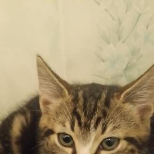 Timon - Domestic Short Hair Cat