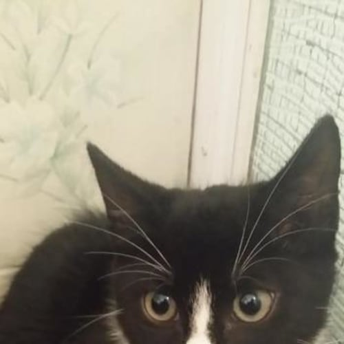 Pumba - Domestic Short Hair Cat