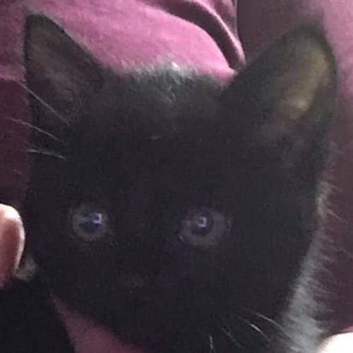 Cherry - Domestic Short Hair Cat