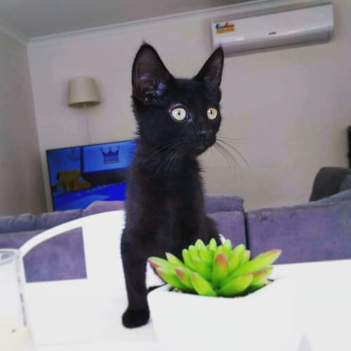 Hyatt - Domestic Short Hair Cat
