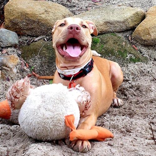 Kuri - Staffy Dog